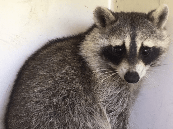 raccoon 2016  2